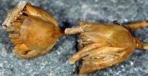 Coleophora dianthi f 1