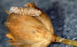 Coleophora dianthi f 2