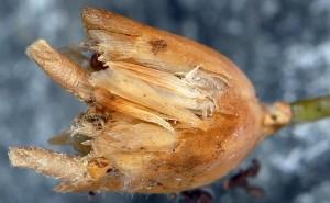 Coleophora dianthi f 3
