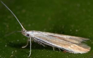 Coleophora discordella 1