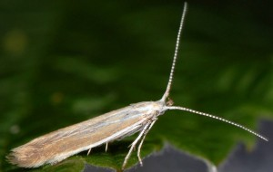 Coleophora discordella 2