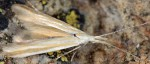 Coleophora ditella (I, F)