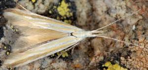 Coleophora ditella 2