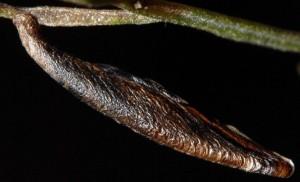 Coleophora ditella f 2