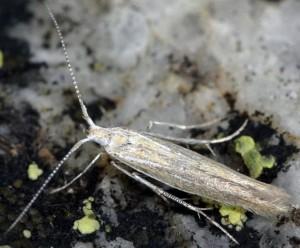 Coleophora femorella 5
