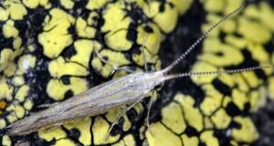Coleophora femorella 6