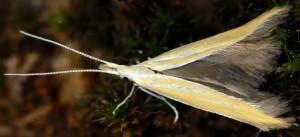 Coleophora flaviella 1