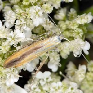 Coleophora flaviella 4