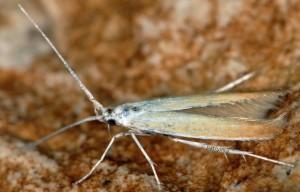 Coleophora flaviella 5