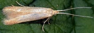 Coleophora flavipennella 1
