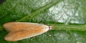 Coleophora flavipennella 3