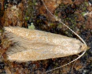 Coleophora flavipennella 5
