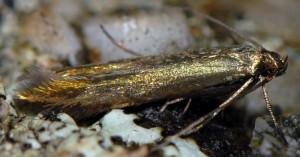 Coleophora frischella 1