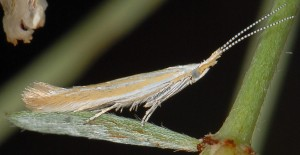 Coleophora genistae 1