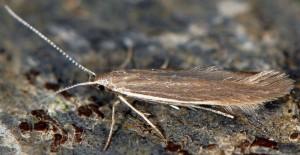 Coleophora glaucicolella 1