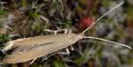 Coleophora glaucicolella (I, G)