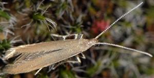 Coleophora glaucicolella 2