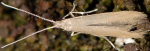 Coleophora glaucicolella 3