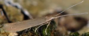 Coleophora glaucicolella 4