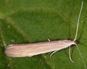 Coleophora glaucicolella 5