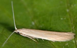 Coleophora glaucicolella 7