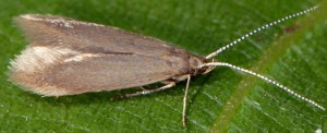 Coleophora gryphipennella 3