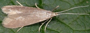 Coleophora gryphipennella 4