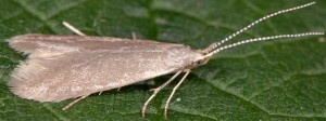 Coleophora gryphipennella 5