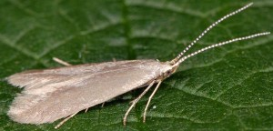 Coleophora gryphipennella 6