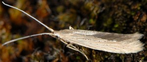 Coleophora halophilella 2