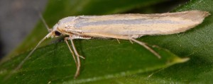 Coleophora helianthemella 2