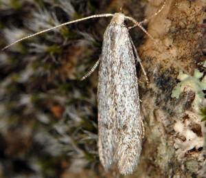 Coleophora hemerobiella 3