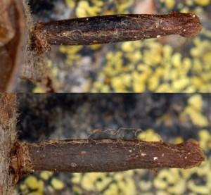 Coleophora hemerobiella f 2