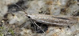 Coleophora hermanniella 2