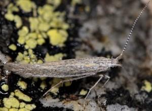 Coleophora hermanniella 3