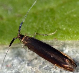 Coleophora hieronella 5