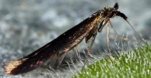 Coleophora hieronella 6