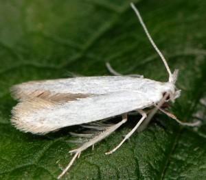 Coleophora ibipennella 1