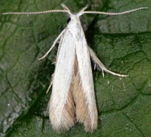 Coleophora ibipennella 2