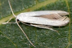 Coleophora ibipennella 3