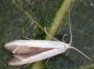 Coleophora ibipennella 4