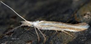 Coleophora involucrella 1