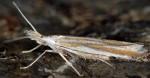 Coleophora involucrella (I, F)
