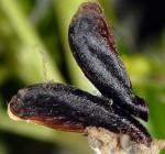 Coleophora involucrella