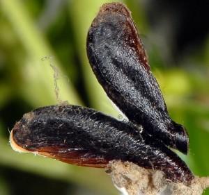 Coleophora involucrella f