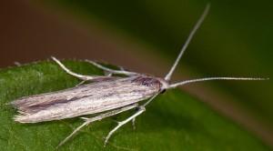 Coleophora iperspinata 1