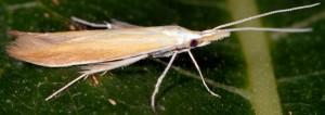 Coleophora kasyi 2