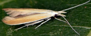 Coleophora kasyi 3