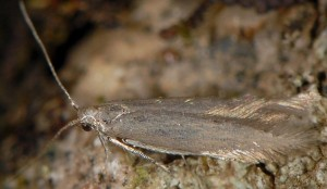 Coleophora laricella 2