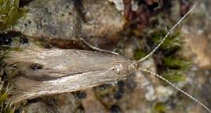 Coleophora laricella 3